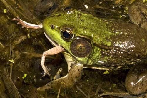 Фото жабы, поедающей жертву