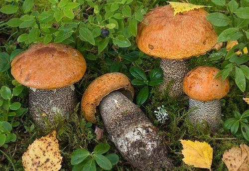 Подосиновик желто-бурый (красно-бурый) (лат. Leccinum versipelle)