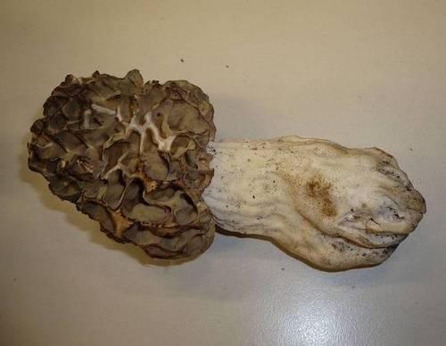 Сморчок толстоногий фото (лат. Morchella crassipes)