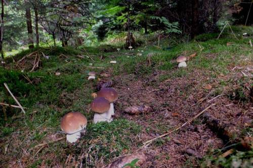 Фото белых грибов в лесу