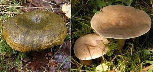 Черный груздь (Lactarius necator) и груздь текущий (Lactarius fluens) фото