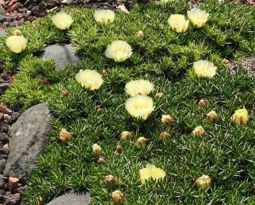 Мауения (Майхуэния, Майэния, Опунция Пёппеги), вид - Maihuenia poeppigii фото