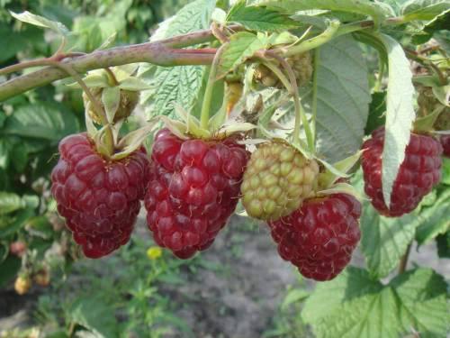 Сорт малины Рубиновая