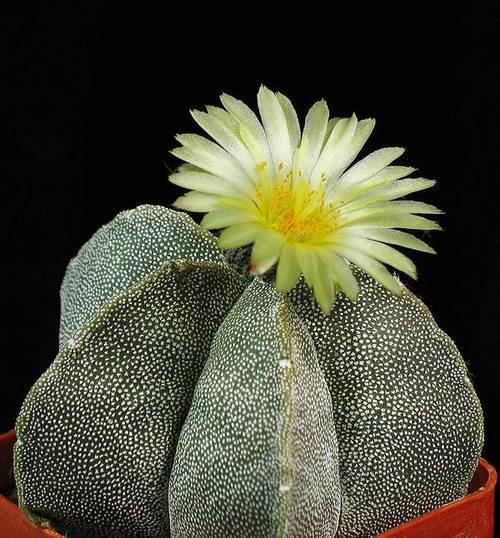 Астрофитум многорыльцевый (крапчатый, бесчисленнокрапинковый) фото (лат. Astrophytum myriostigma)