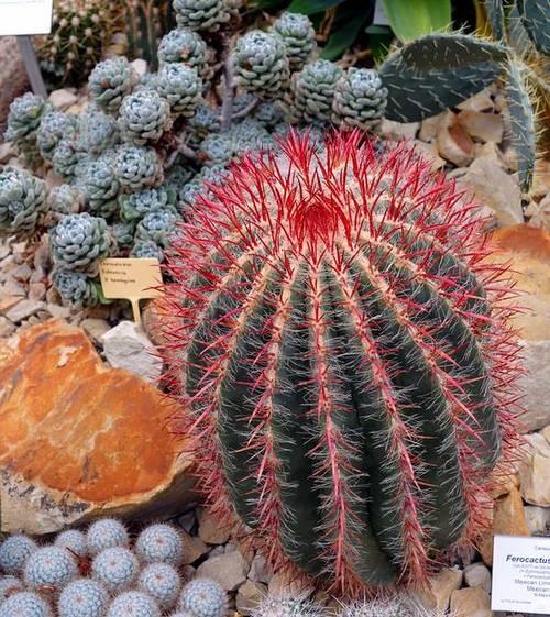 Ферокактус волосистый фото (лат. Ferocactus pilosus)