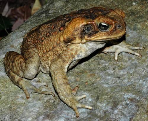Большая жаба фото