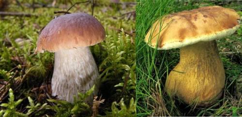 Слева белый гриб, справа желчный гриб