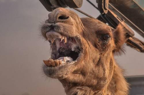 Зубы верблюда фото