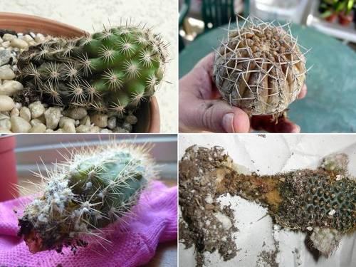Гниль кактусов фото