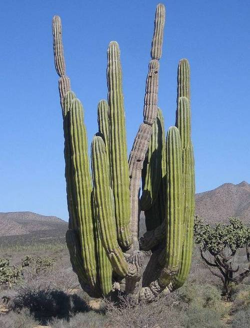 Пахицереус Прингла фото (лат. Pachycereus pringlei)