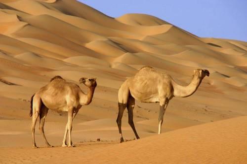 Где живет верблюд фото