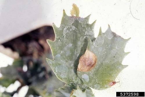 Фузариоз кактуса фото