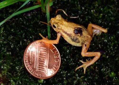 Самая маленькая жаба в мире (Жаба-брызгун Киханси)