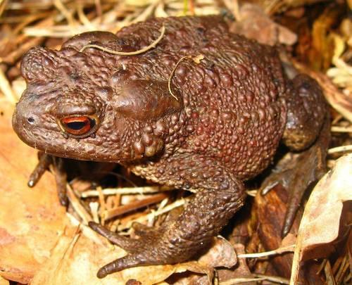Обыкновенная жаба