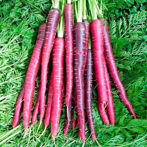 Сорт ранней моркови