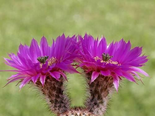 Эхиноцереус Рейхенбаха с фиолетовыми цветами фото (лат. Echinocereus reichenbachii)