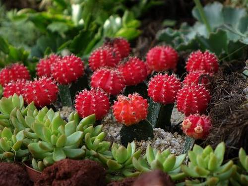 Красный гимнокалициум Михановича фото (лат. Gymnocalycium mihanovichii)